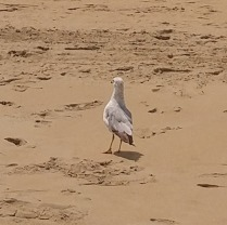 sea gull walking --> it wasn't scared of us