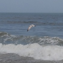 sea gull flying --> could have been an attack